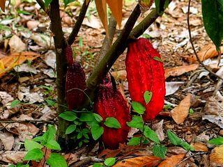 Cacao CCN51 Ecuador