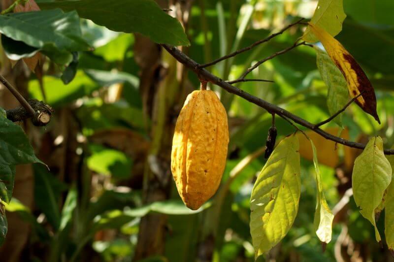 Cacao Nacional Ecuador