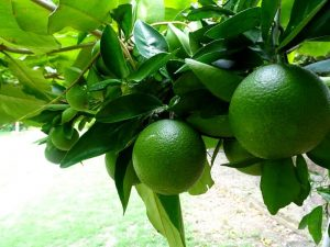 Naranja Washington Finca Happy Fruit