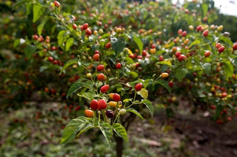 Ají Manzano Finca Happy Fruit
